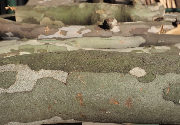 camouflage pattern on plane tree bark