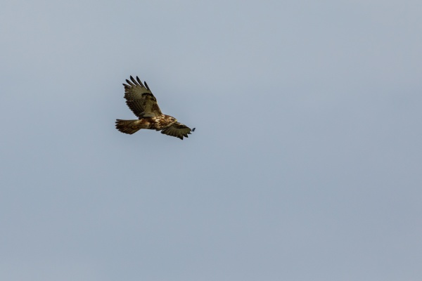 a common buzzard in the air