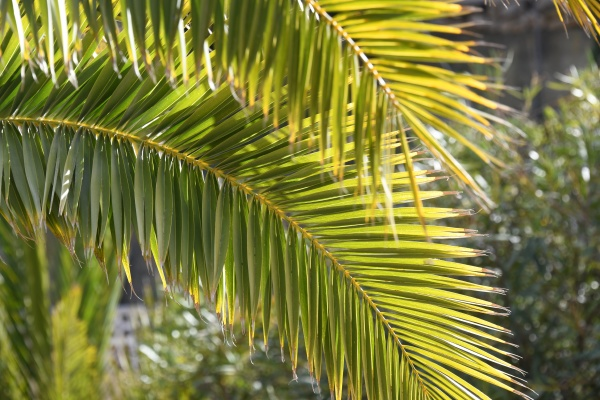 green palm leaves in the province