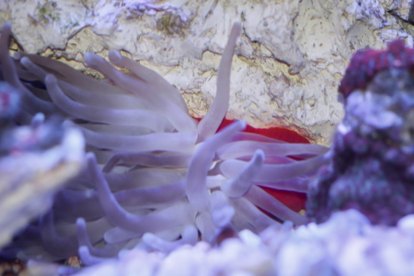 a beautiful anemone in a saltwater