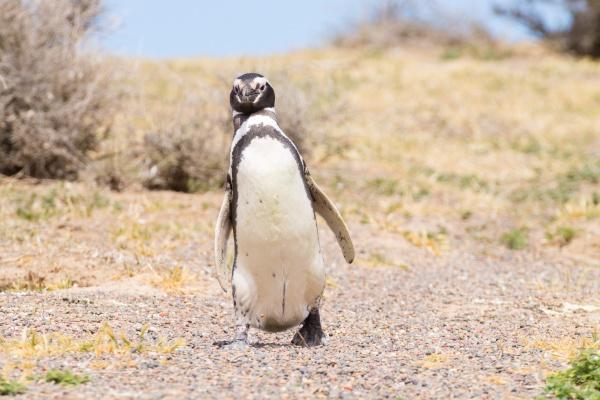 magellanic penguin close up punta tombo