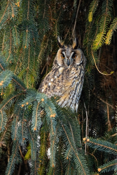 adult long eared owl with beautiful