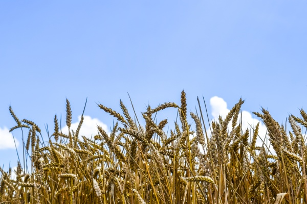 spikelets of wheat against the sky