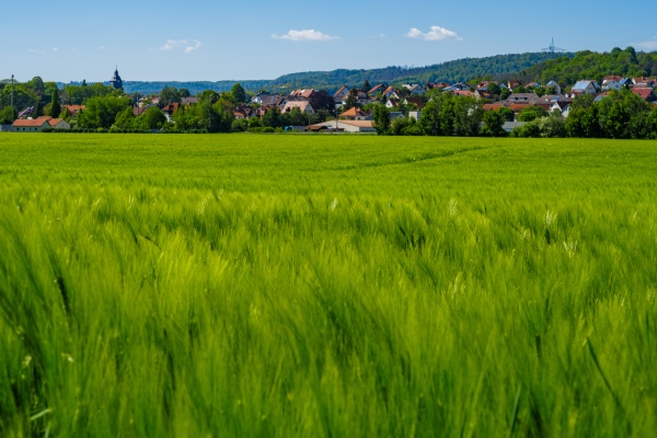 a field of green barley
