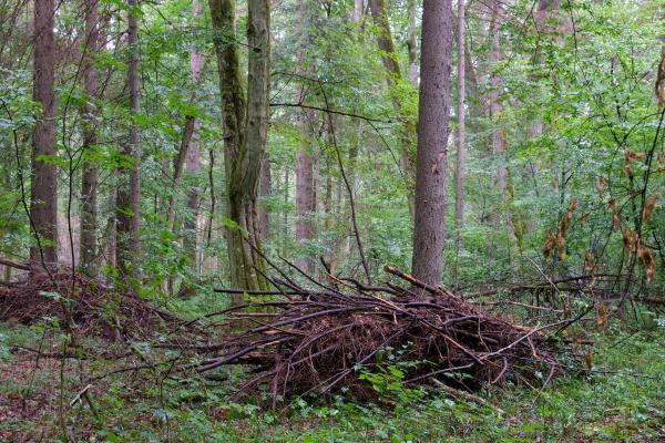 oak tree broken branches lying