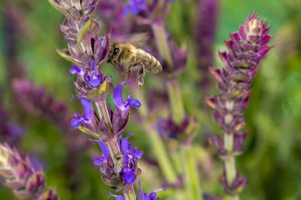 honeybee in the spring is flying