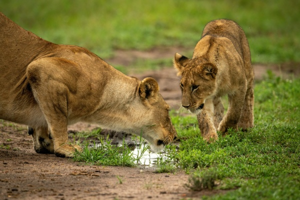 lion cub approaches mother drinking from