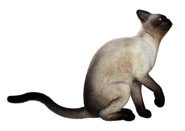 3d rendering siamese cat on white