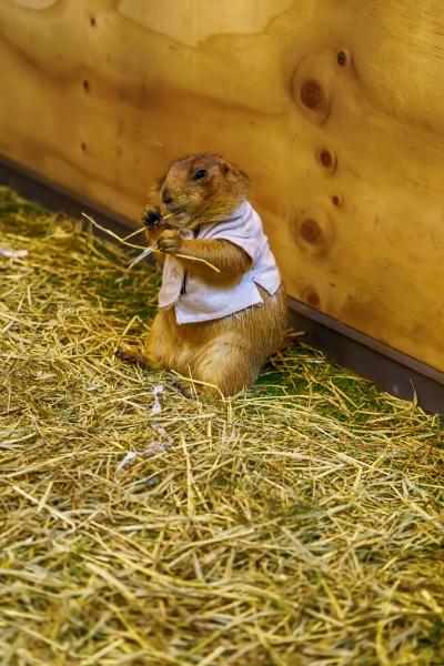 prairie dog eating food