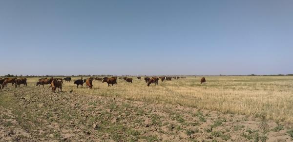 herd of cows in the sunburnt
