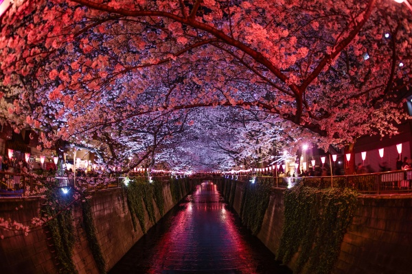 cherry blossoms in full bloom of