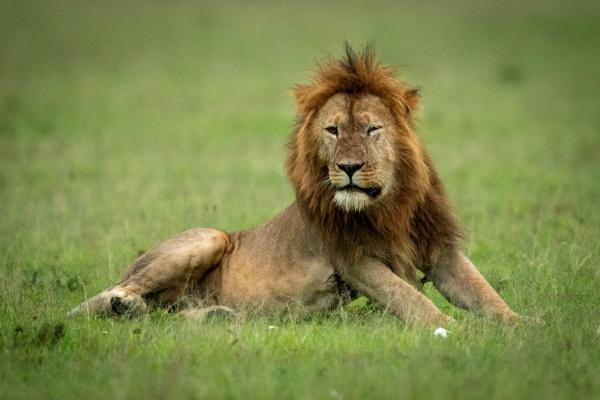 male lion with damaged eye lying