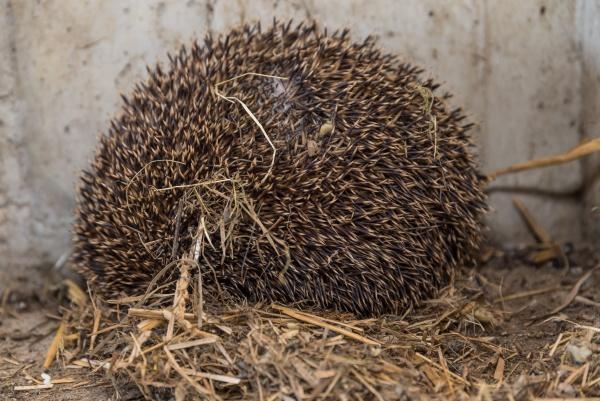 hedgehog in a straw nest