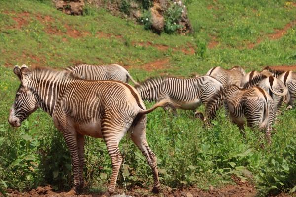 beautiful zebras wild animals herbivores fast