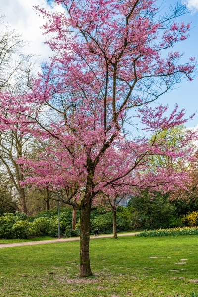 spring natural background cherry blossoms during