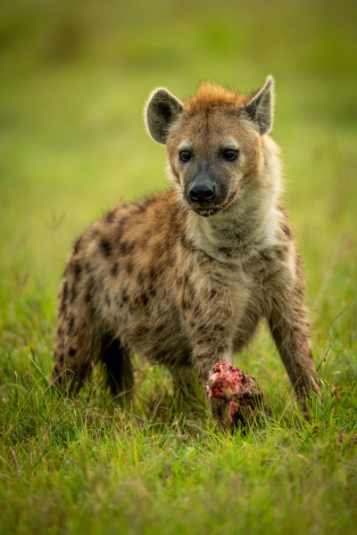 spotted hyena standing on grass guarding