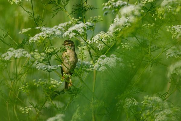 a whitethroat bird in the wild