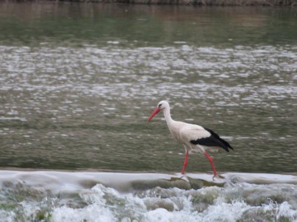 stork bird feathers bill white black