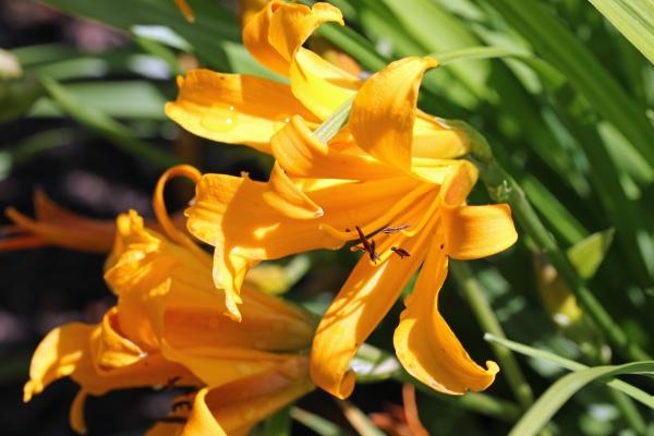 orange copper day lily flower close