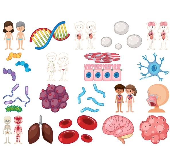 set of human inner organs isolated