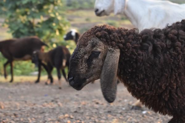 close up head of black sheep