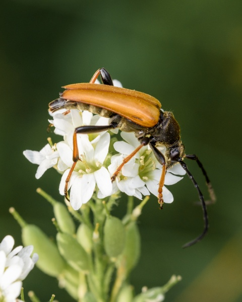 the barbel beetle is a mottled