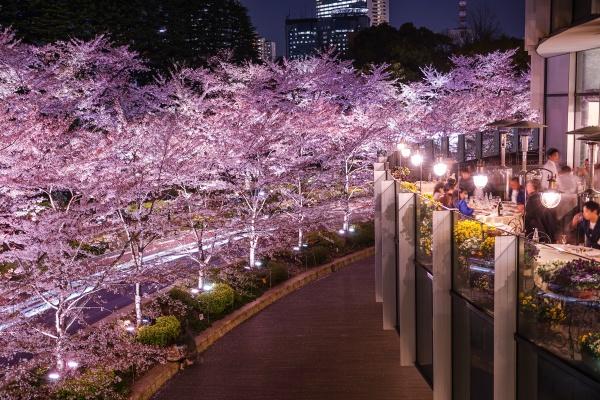 tokyo midtown sakura full bloom