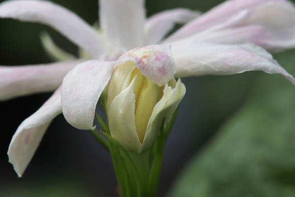 macro side view of jasmine flowers