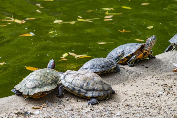 freshwater turtles on the shore near