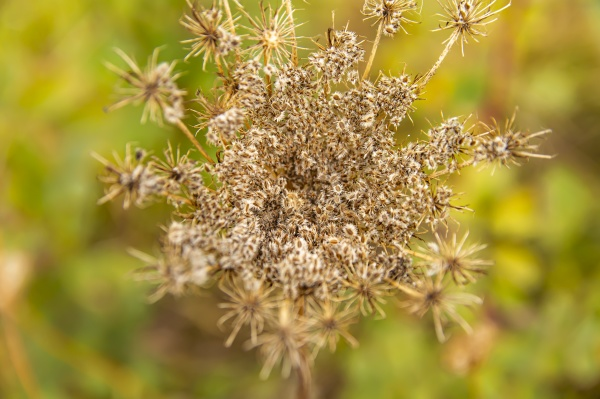 field dried plants with seeds in