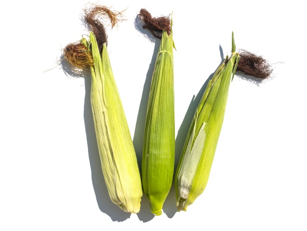 the harvest of corn lies on