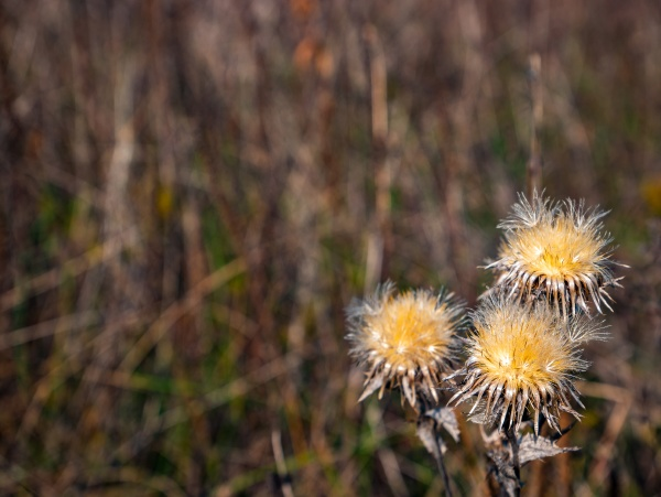 dried autumn meadow flower on a