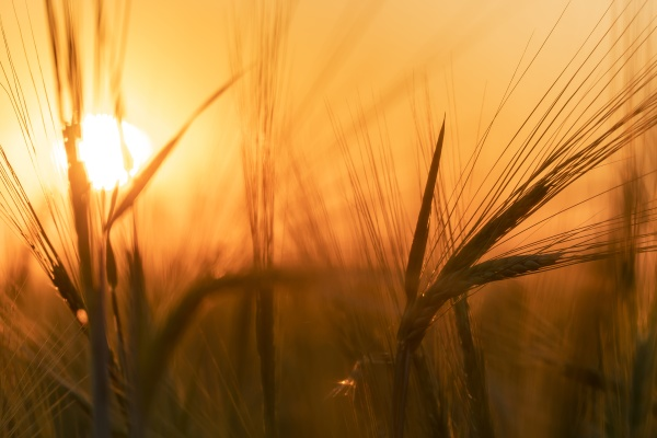 harvesting grain crops in a field
