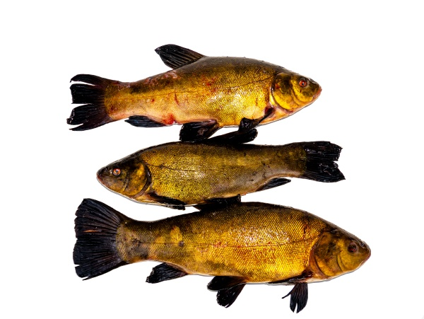 freshwater fish tench on a white