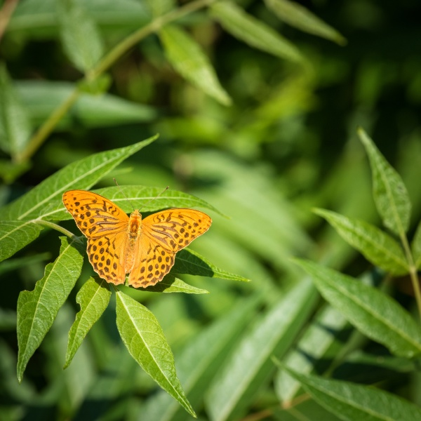 silver washed fritillary on a green
