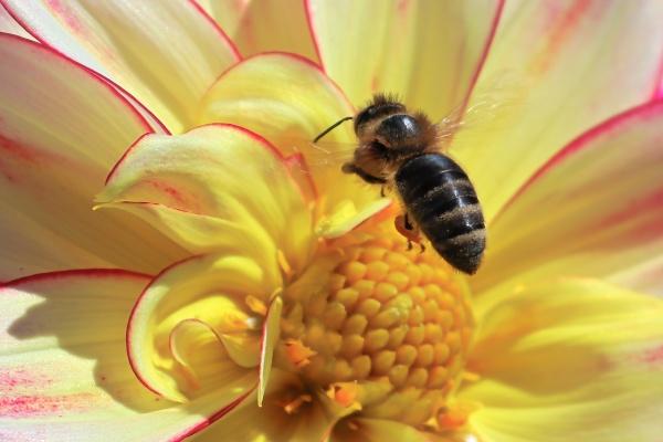 macro view of a honeybee hovering