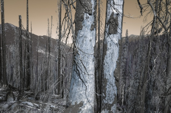 inverted image of wildfire damaged forest