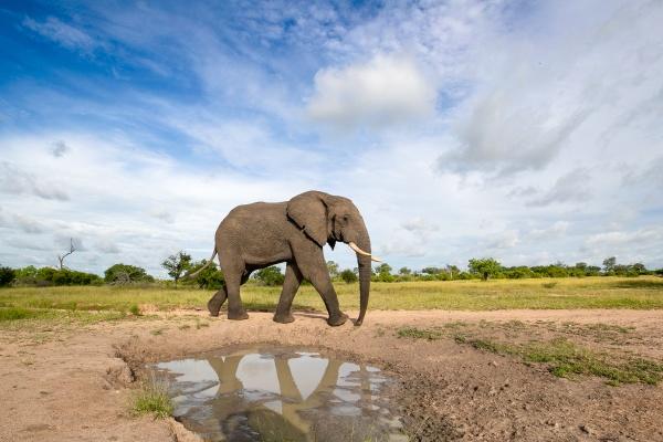an elephant bull loxodontaafricana reflection in
