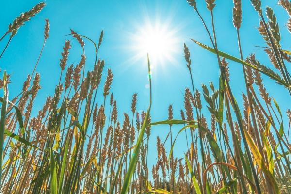 growing grain crops in a field