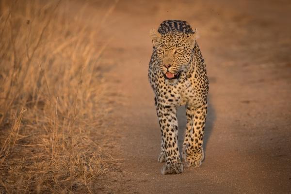a leopard panthera pardus walks towards