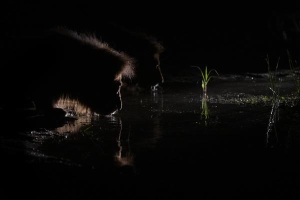 a male lion panthera leo crouches