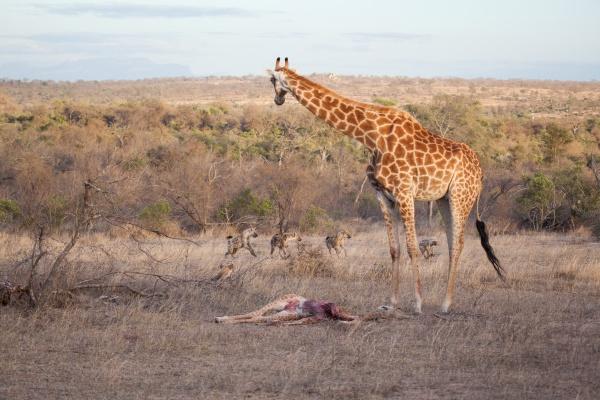 a giraffe mother with her calf
