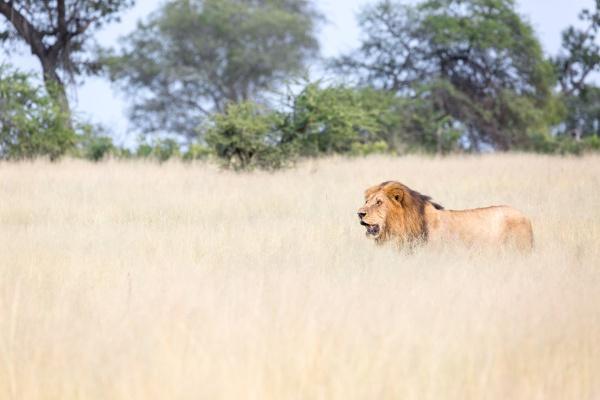 a male lion panthera leo