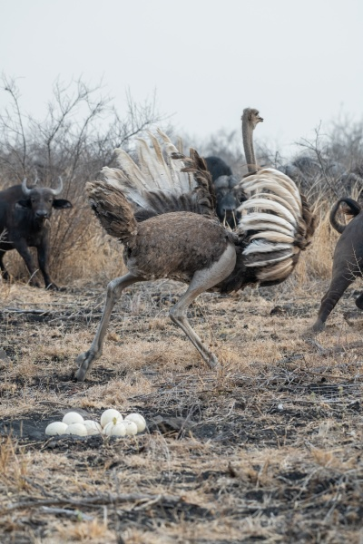 an ostrich chases buffalo to protect