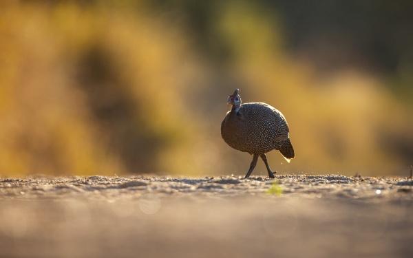 a helmeted guineafowl numida meleagris walks