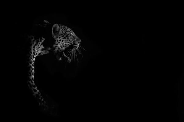 a leopard panthera pardus