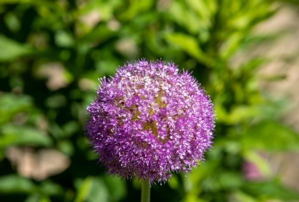 globemaster allium flowers in full bloom