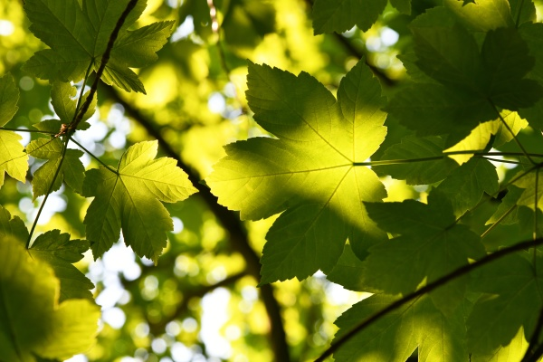 green leaves of the acer pseudoplatanus