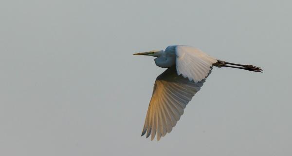 great egretardea alba in flight