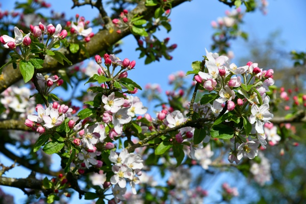 delicate pink apple tree blossoms